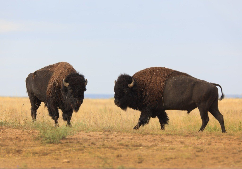 Texas State Bison Herd