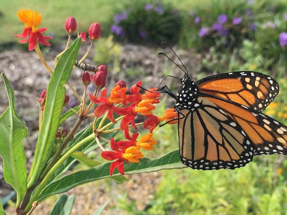 Migratory monarchs