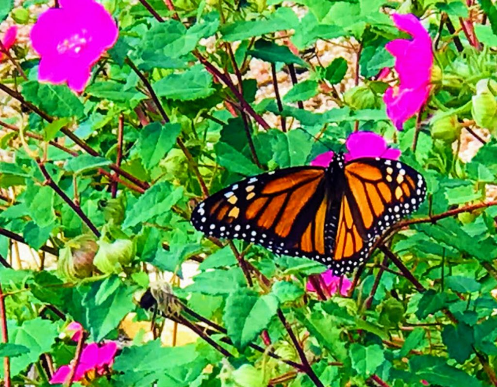 Central Texas Pollinator Project to save monarch butterflies