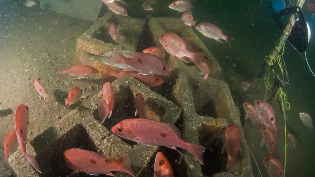 Red snapper thriving in artificial reef