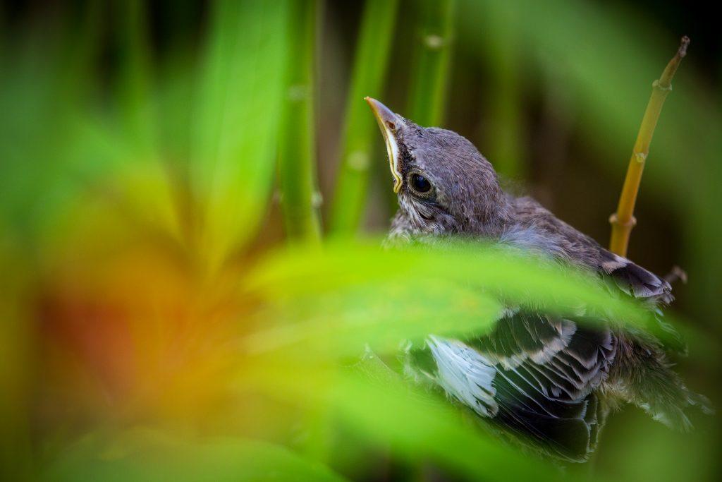A fledgling Northern mockingbird taking refuge in Marathon's restored habitat