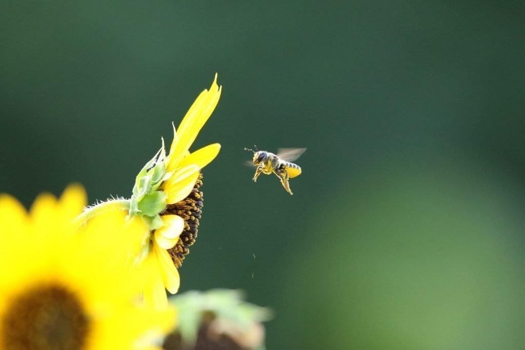 A honeybee visiting flowers in the pollinator garden