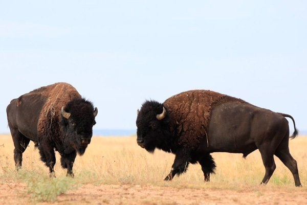 Bison images used for Texas State Bison Herd book
