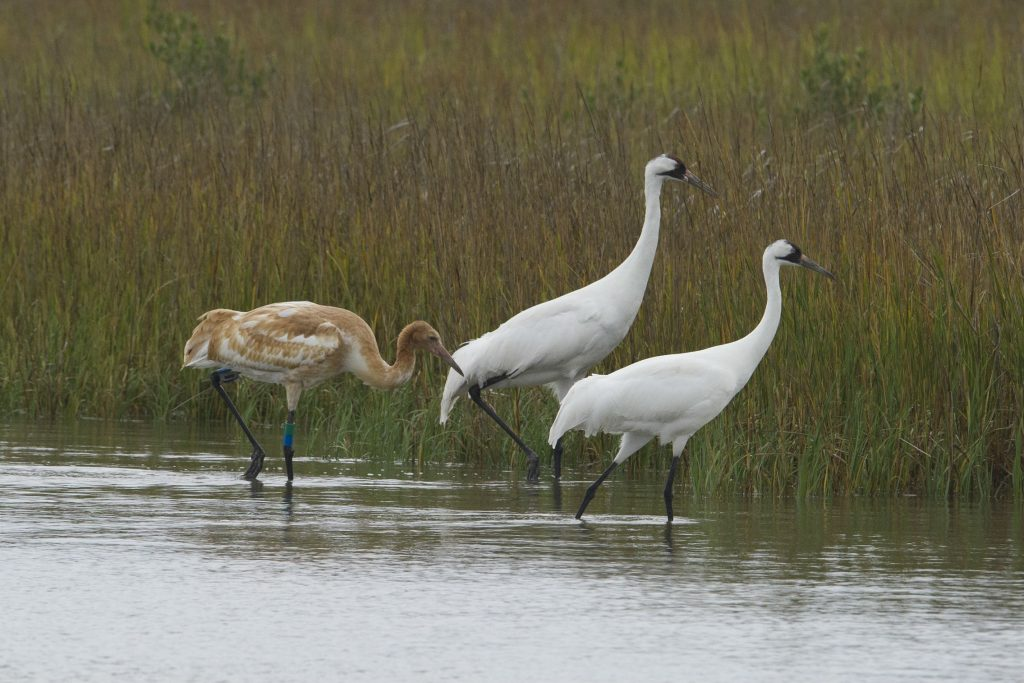 Two adults and a juvenile whooping crane