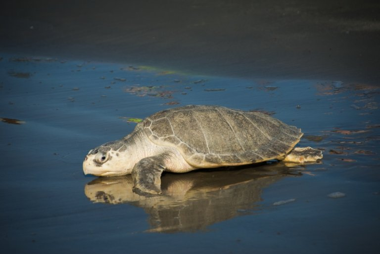 Recycling fishing line helps to protect sea turtles like this Kemp's ridley