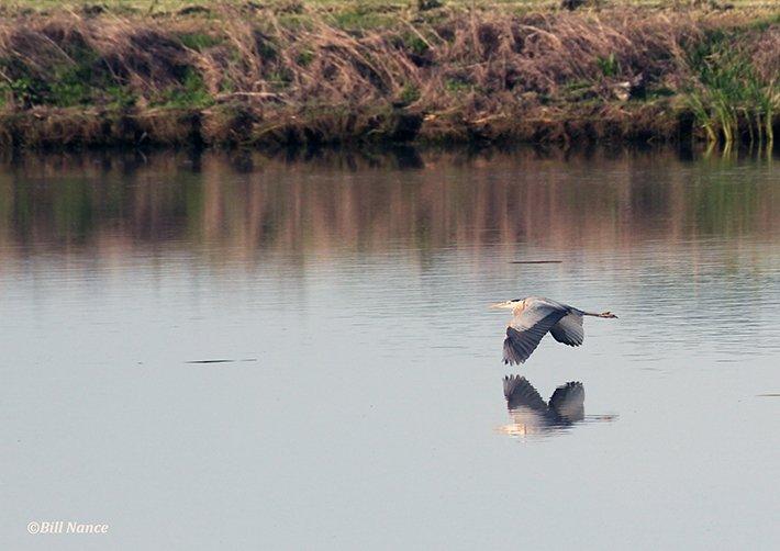 John Bunker Sands Wetland Center Heron