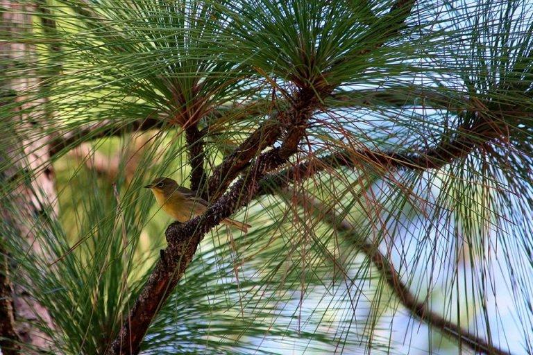 Pine Warbler by Rachel Rommel