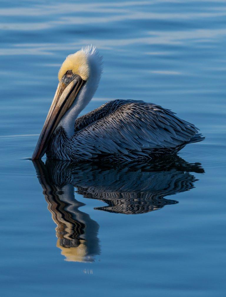 Brown Pelican. Photo: Angela Birmingham
