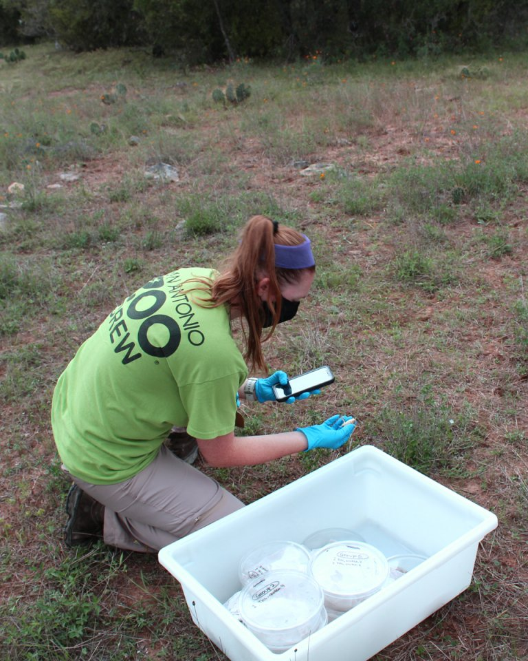San Antonio Zoo Staff Releasing Horned Lizard