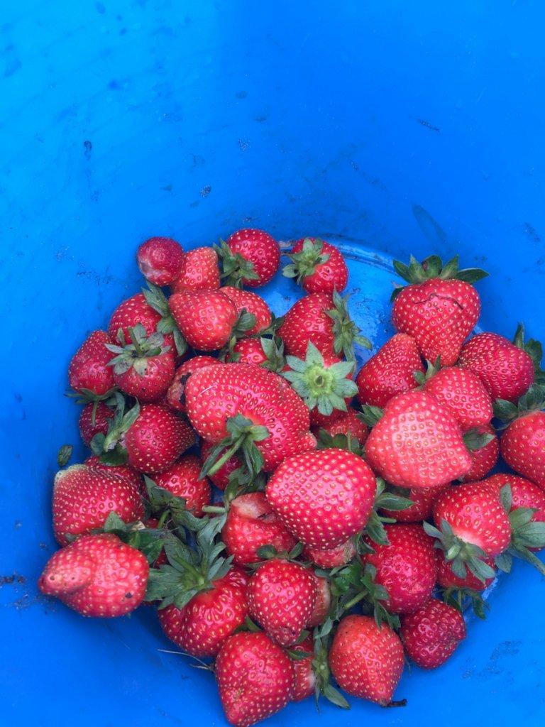 NRG Dewey Prairie Garden Strawberries