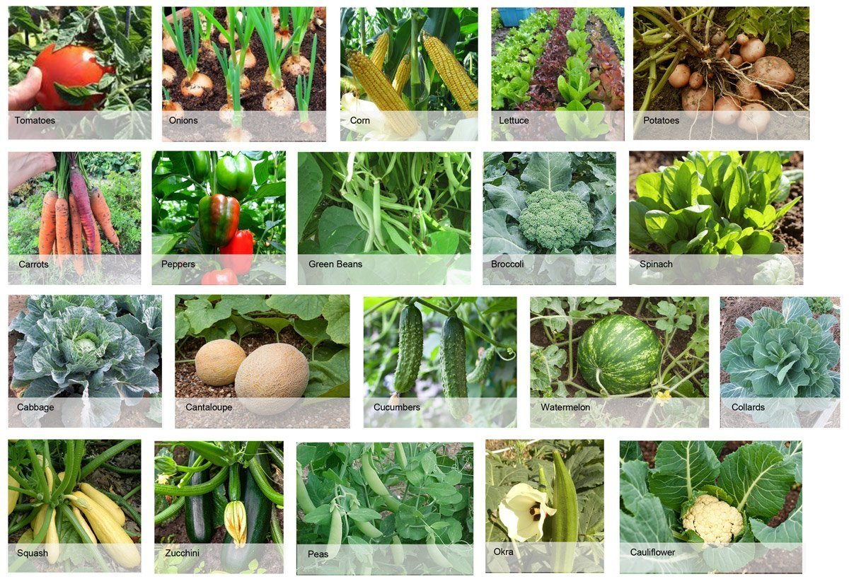 Some of the edible plants selected for the garden